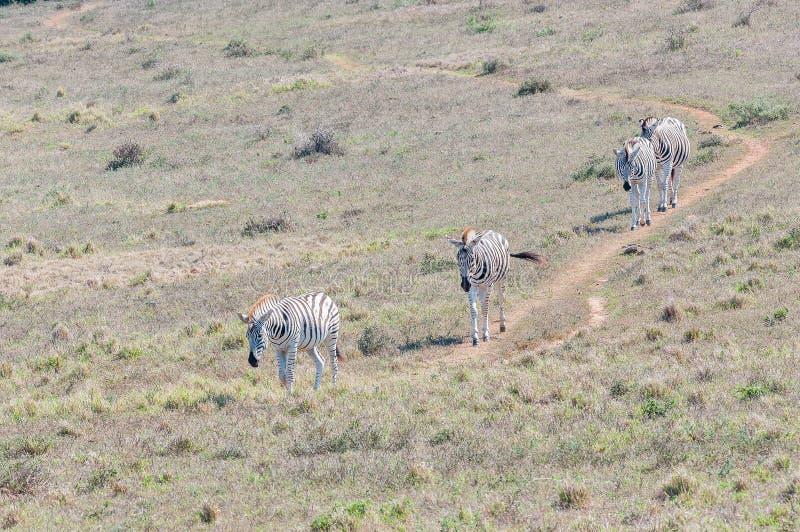 Burchells-Zebras, die in Folge gehen lizenzfreie stockfotos