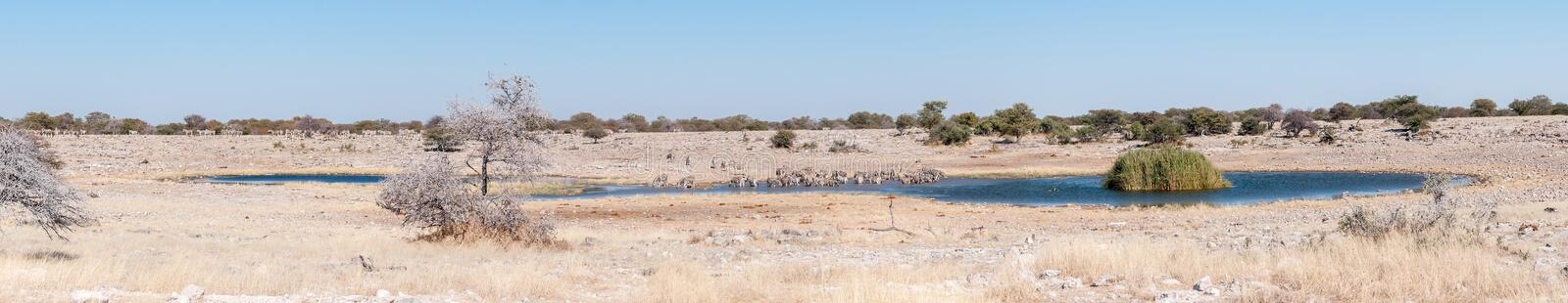 Burchells zebras drinking water at a waterhole in Northern Namibia. A large herd of Burchells zebras, Equus quagga burchellii, drinking water at a waterhole in stock photos