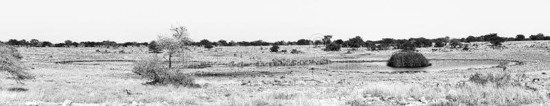 Burchells zebras drinking water at a waterhole, Northern Namibia. Monochrome stock photo