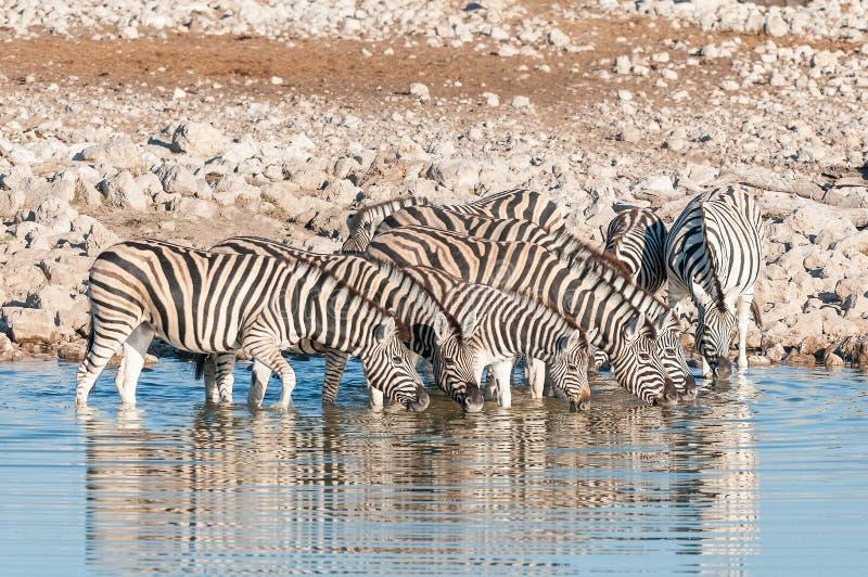 Burchells Zebras Equus quagga burchellii drinking water. A herd of Burchells Zebras Equus quagga burchellii drinking water at a waterhole in Northern Namibia stock photography