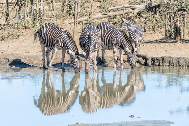 Burchells zebras drinking water from a waterhole royalty free stock photos