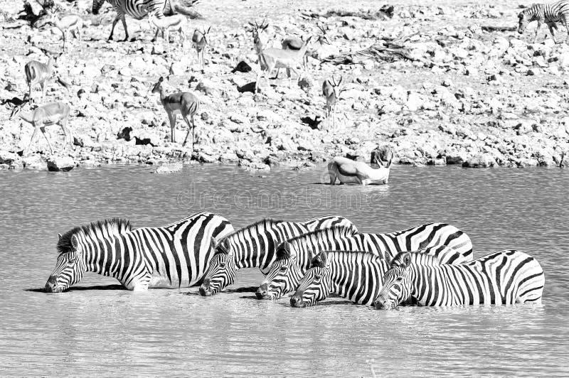 Burchells zebras drinking in a waterhole in Northern Namibia. Monochrome stock image
