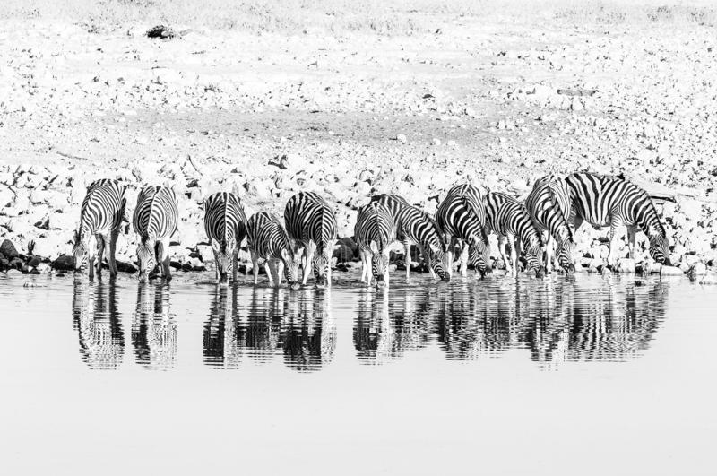 Burchells zebras, with their reflections visible, drinking water. Monochrome stock images