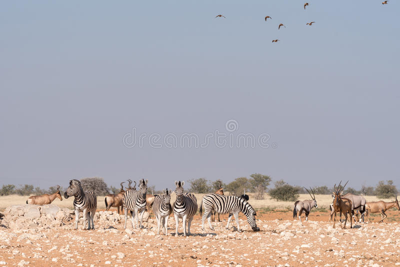 Burchells zebras, Oryx, red hartebeest with sandgrouses in the a. Ir at a waterhole in Northern Namibia stock images