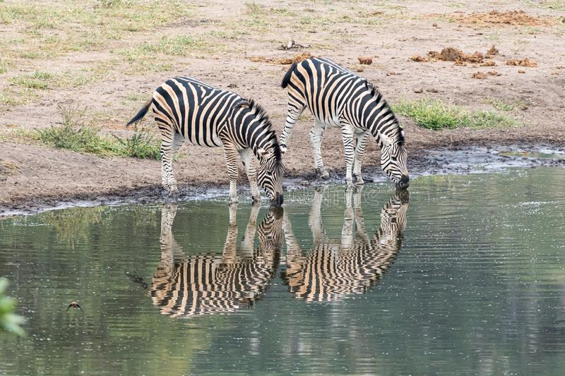 Burchells zebras, with reflections, at a waterhole stock images
