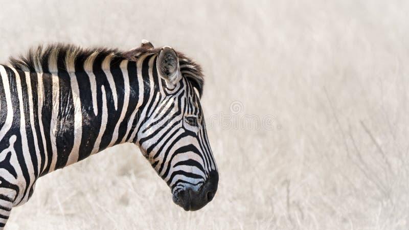 Burchells zebry horyzontalny sztandar obraz stock
