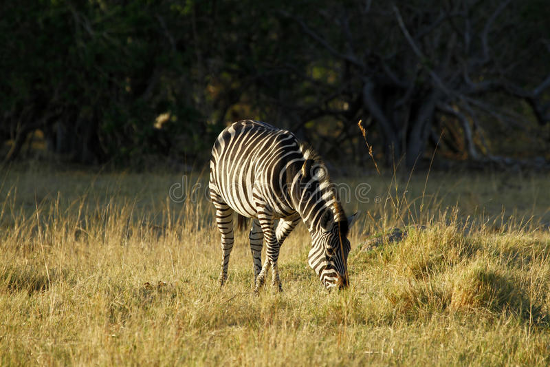 Burchells zebry pasanie obrazy stock