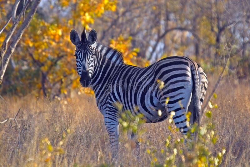 Burchellszebra (Equus-quaggaburchellii) royalty-vrije stock foto's