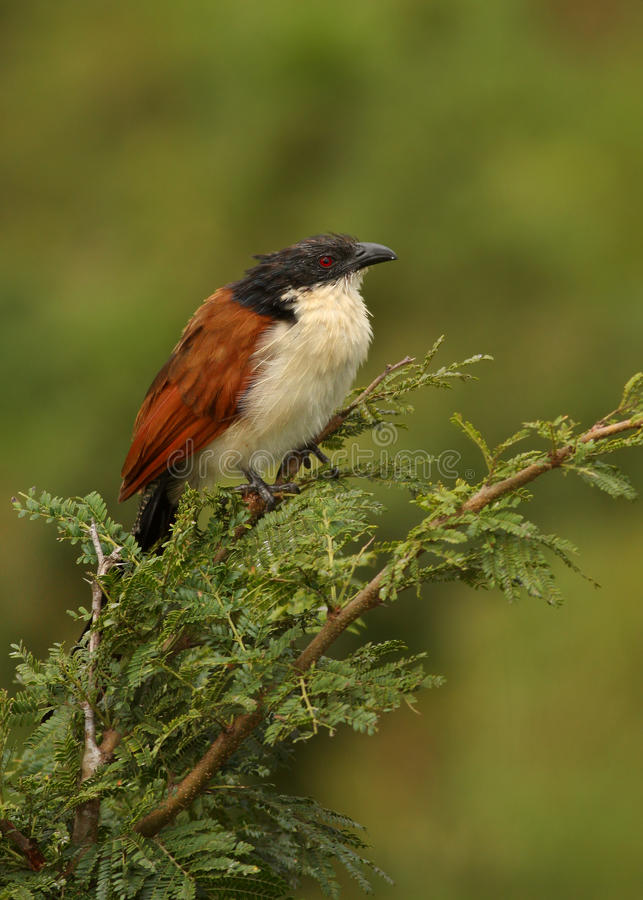 burchels coucal photo libre de droits