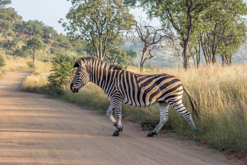 Burchels zebry skrzyżowanie droga obrazy royalty free