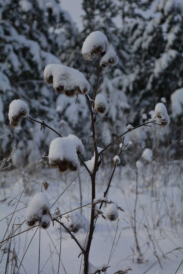 Burdock που καλύπτεται με το χιόνι στοκ φωτογραφία