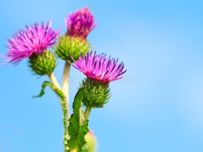 Download Burdock stock image. Image of herb, fresh, green, floral - 22752583