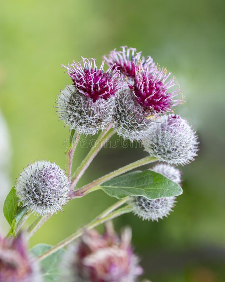 Burdock big bur fresh spines blooming in purple flowers. Flowering burdock summer stock photography