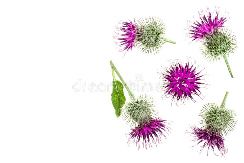 Burdock flower isolated on white background with copy space for your text. Medicinal plant: Arctium. Top view. Flat lay. Pattern royalty free stock photo