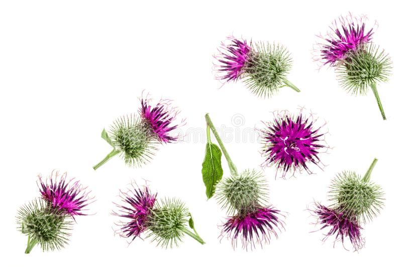 Burdock flower isolated on white background with copy space for your text. Medicinal plant: Arctium. Top view. Flat lay. Pattern royalty free stock images