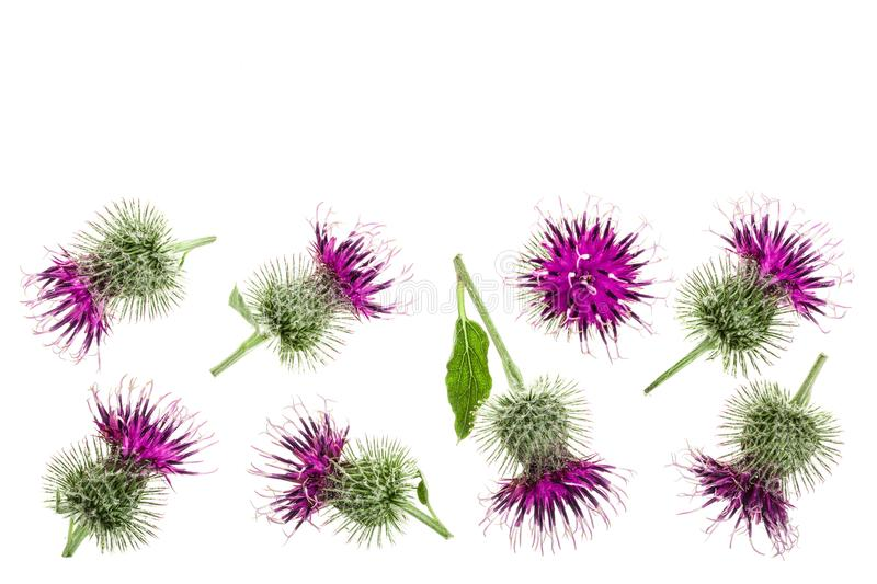 Burdock flower isolated on white background with copy space for your text. Medicinal plant: Arctium. Top view. Flat lay. Pattern stock images
