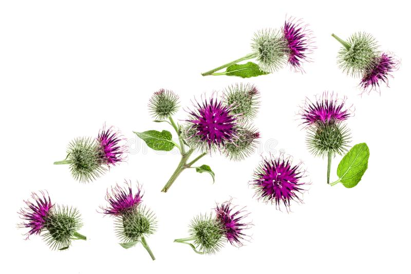 Burdock flower isolated on white background with copy space for your text. Medicinal plant: Arctium. Top view. Flat lay. Pattern royalty free stock image
