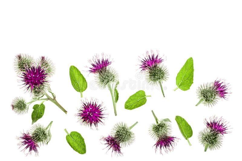 Burdock flower isolated on white background with copy space for your text. Medicinal plant: Arctium. Top view. Flat lay. Pattern stock photography