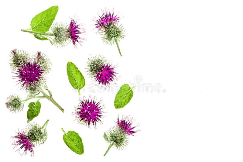 Burdock flower isolated on white background with copy space for your text. Medicinal plant: Arctium. Top view. Flat lay. Pattern royalty free stock photos