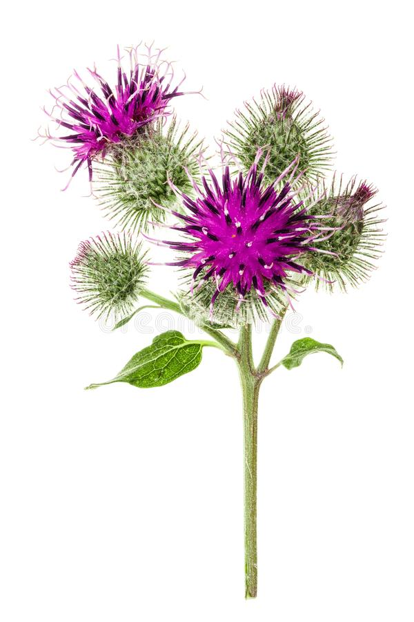 Burdock flower isolated on white background. Medicinal plant: Arctium.  royalty free stock images