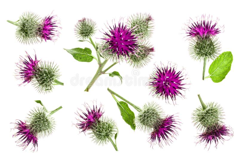 Burdock flower isolated on white background. Medicinal plant: Arctium. Top view. Flat lay pattern.  stock photos