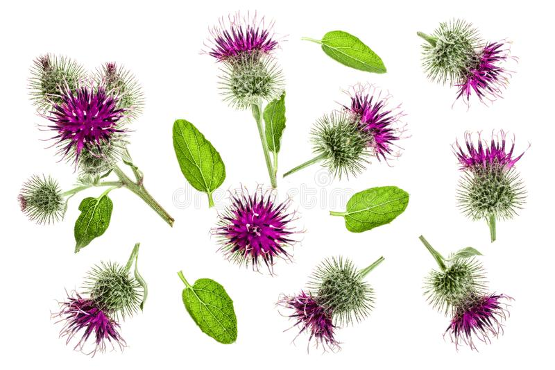 Burdock flower isolated on white background. Medicinal plant: Arctium. Top view. Flat lay pattern.  stock photography