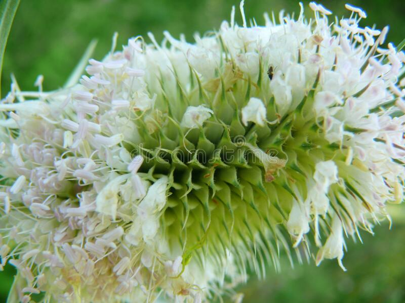 Burdock flower in summer. royalty free stock photo