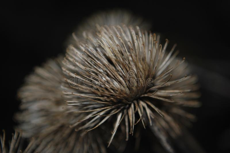 Burdock stock photos