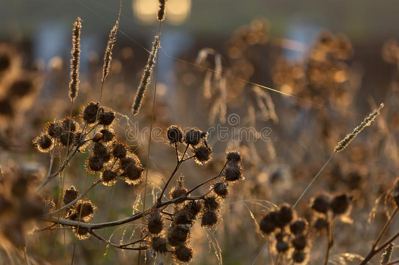 A burdock illuminated by the evening sun with tenacious prickly, faded inflorescences, on which a snail crawls, is shrouded in cob stock photography