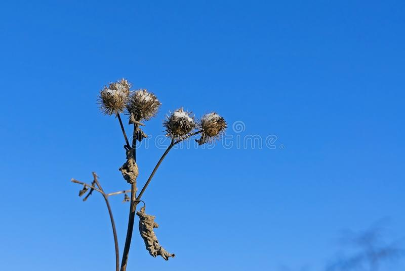 Burdock seeds covered with snow against the blue sky royalty free stock photos