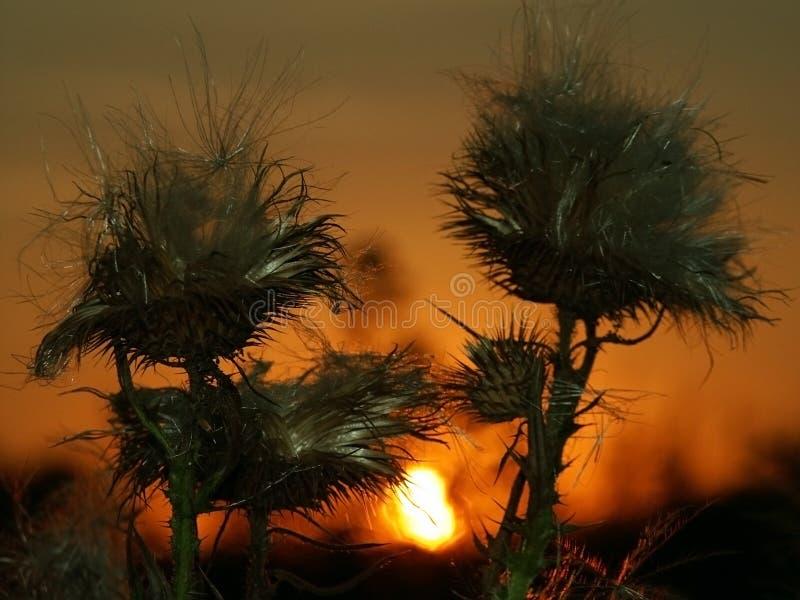 Burdock & Sunset Free Stock Photography