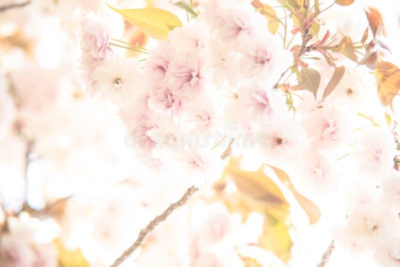 Burggraben- und Kirschblüten von Kyoto lizenzfreie stockbilder