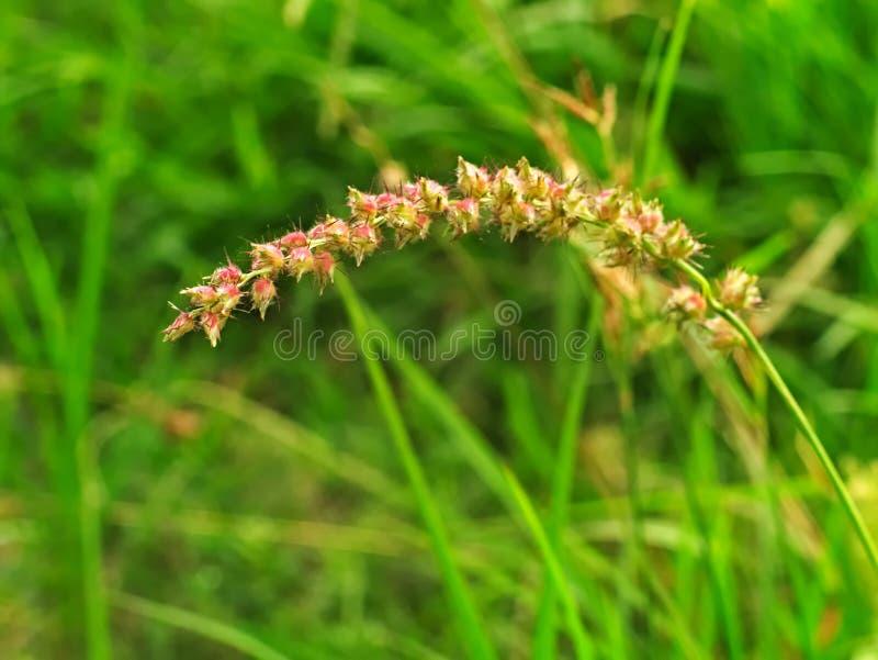 Burgrass eller igelkottgräs royaltyfria foton