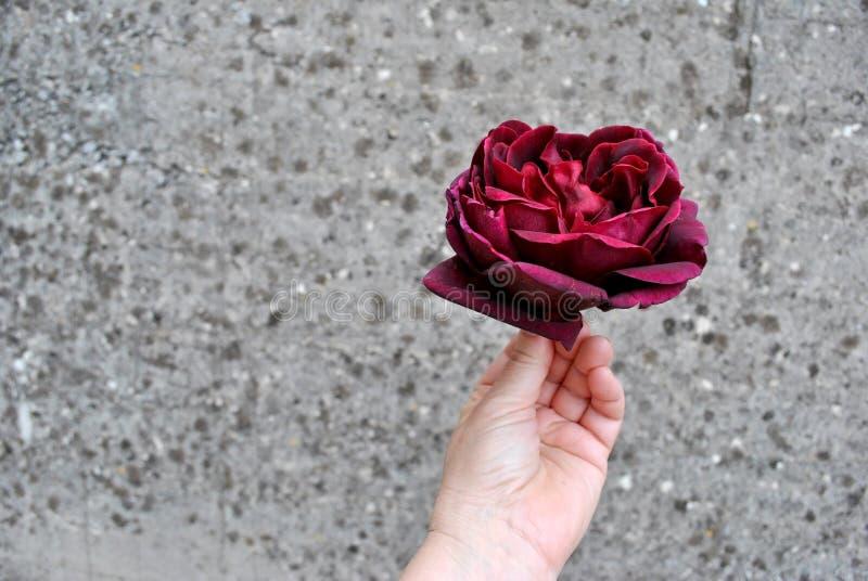 Burgunder Rose in einer Hand auf Gray Spotted Background lizenzfreies stockbild