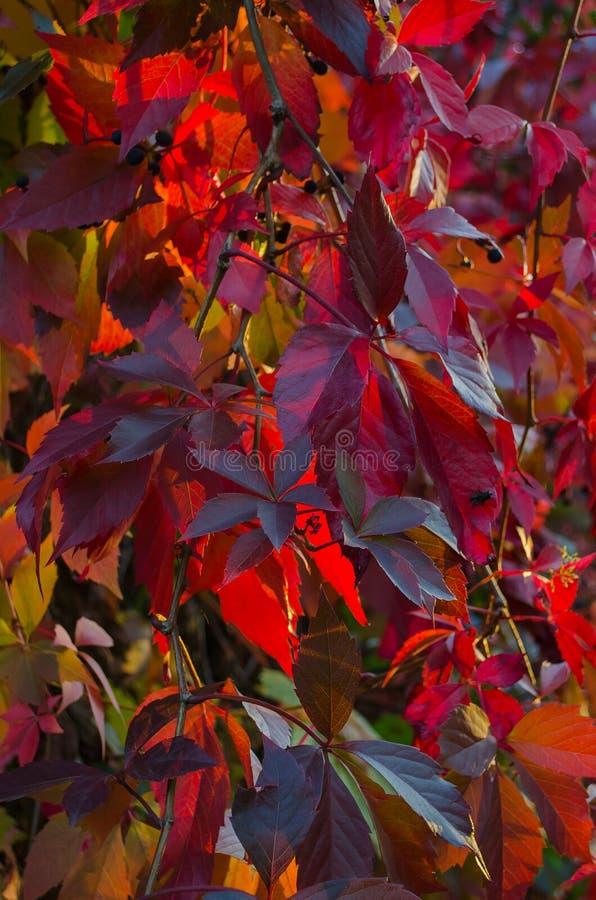 Burgundy φύλλα των παρθένων σταφυλιών στοκ φωτογραφίες