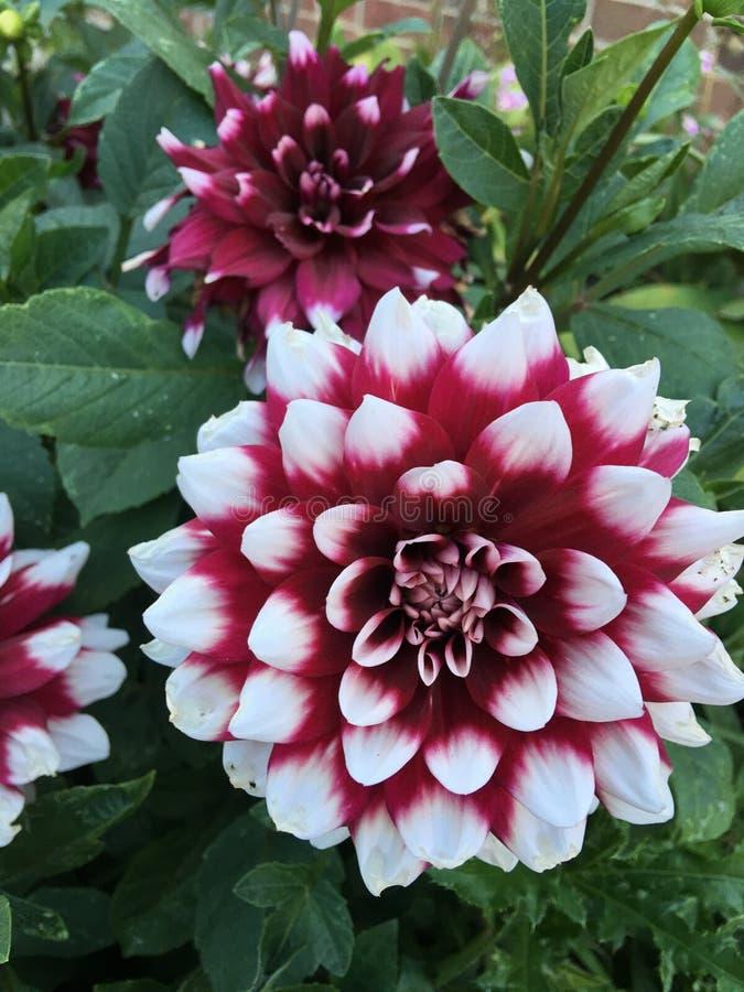 Burgundy biały kwiat obraz royalty free
