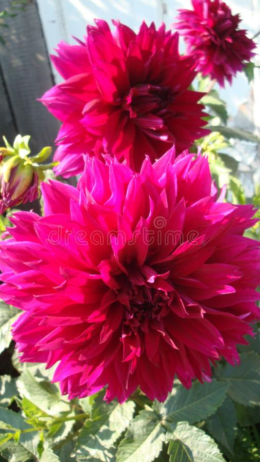 Burgundy Dahlia is a flower, is famous for her beauty, stirs passion and pushes crazy things. From pink to maroon flowers royalty free stock image