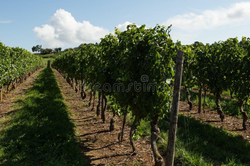 burgundy france vingårdar arkivfoton