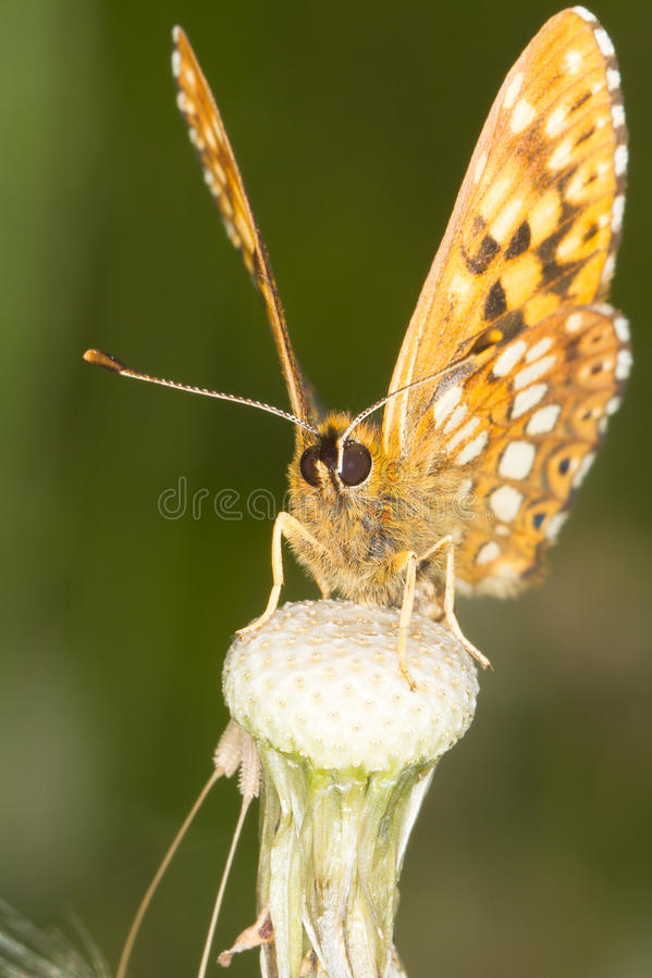 burgundy motyli diuka hamearis lucina obraz royalty free
