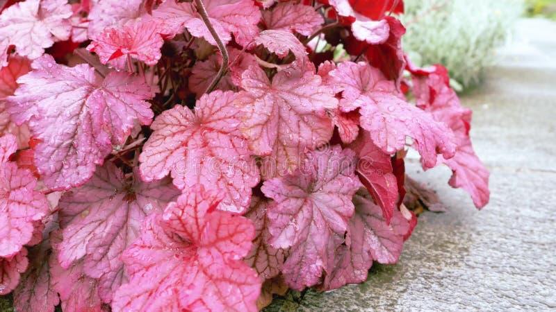 Burgundy opuszcza w ogródzie w przedpolu fotografia stock