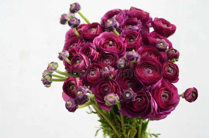 Burgundy peoni kwiat na białym tle zdjęcia royalty free
