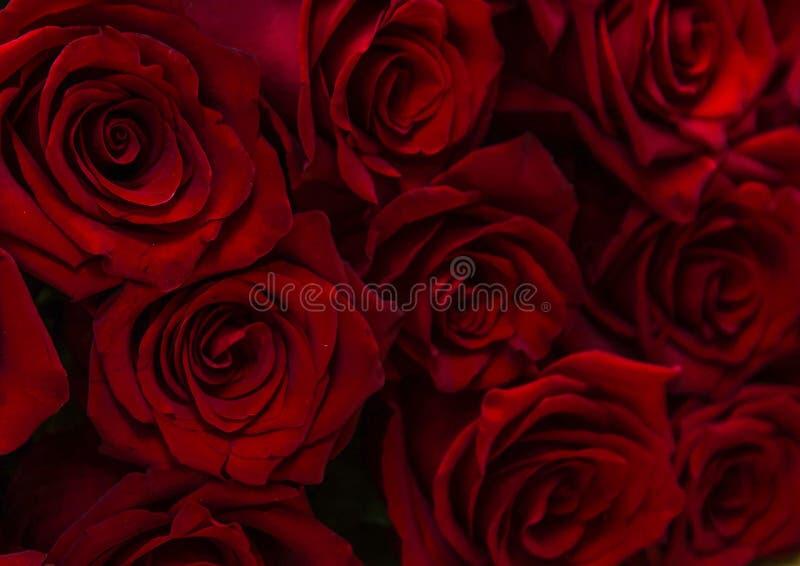Burgundy roses, background royalty free stock photo