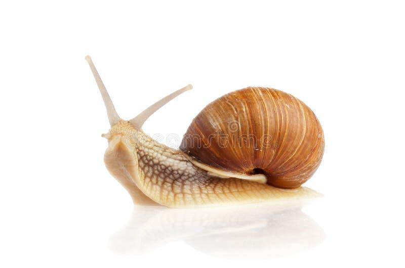 Burgundy snail (Helix pomatia). Isolated on white background royalty free stock photography