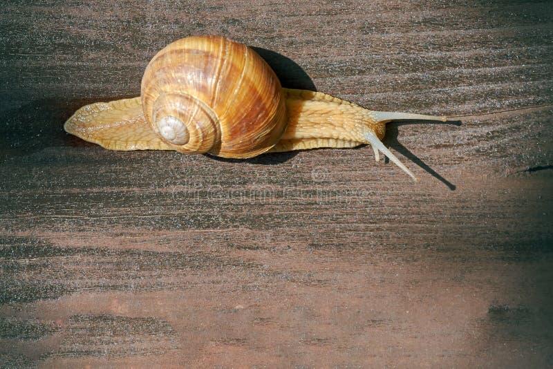 Burgundy snail Helix pomatia. Roman snail, edible snail, escargot crawling on wooden surface. Top view with copy space stock photos