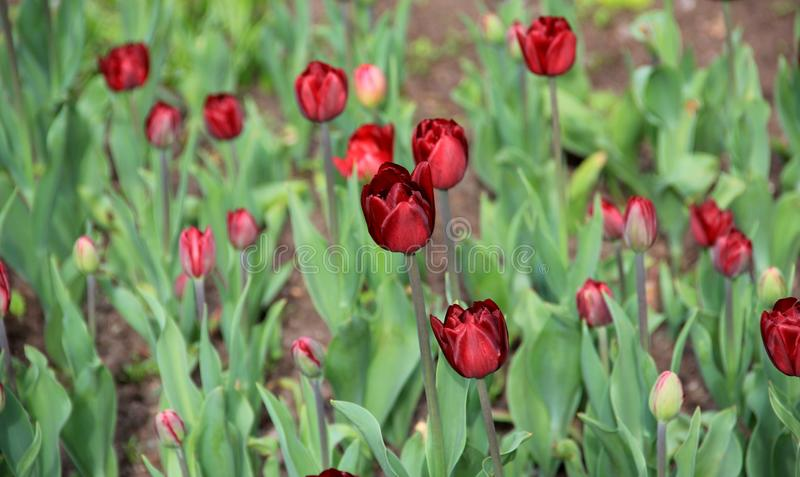 Burgundy tulips royalty free stock photos
