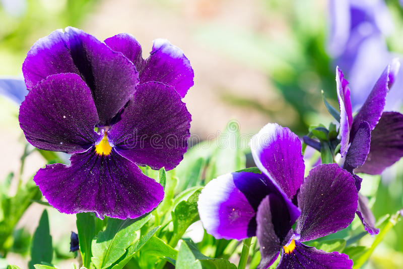 Burgundy Viola tricolor spring flower plant in the park. Burgundy Viola tricolor spring flower in the park stock photos