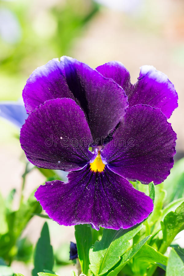 Burgundy Viola tricolor spring flower plant in the park stock photo