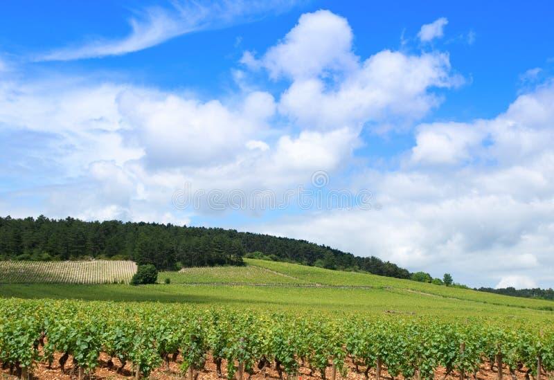 burgundy winnicy fotografia royalty free
