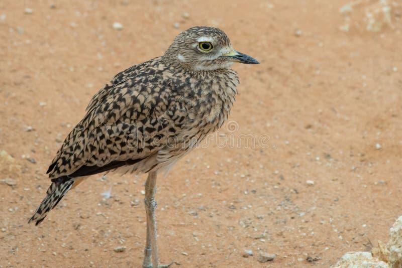 Burhinus capensis ?acia?ci g??ci kolanowi stojaki i spojrzenia woko?o w pustynnym piasku Miejscowy Południowa Afryka, Etiopia, Ke obrazy stock