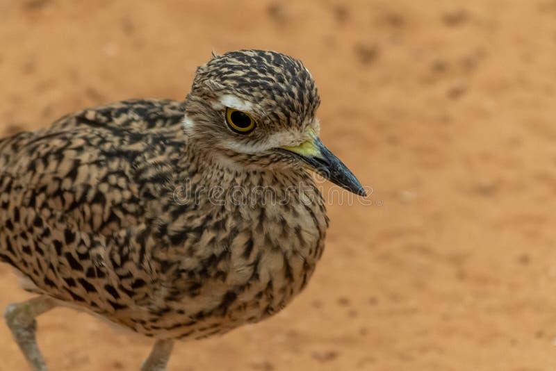 Burhinus capensis ?acia?ci g??ci kolanowi stojaki i spojrzenia woko?o w pustynnym piasku Miejscowy Południowa Afryka, Etiopia, Ke obrazy royalty free